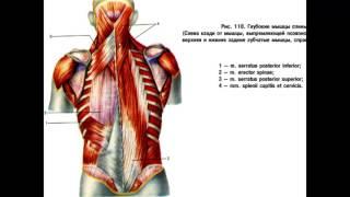 Мышцы спины(, 2015-11-28T20:47:30.000Z)