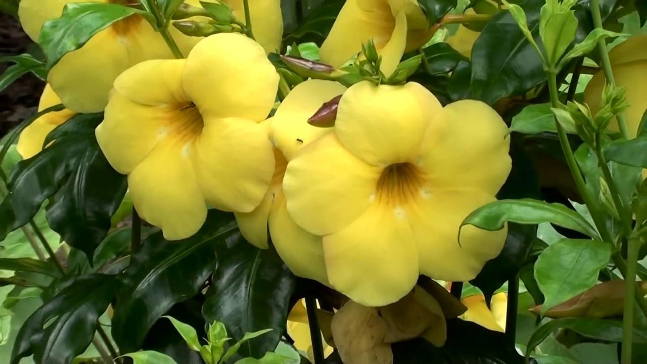 Alamanda amarela allamanda cathartica como fazer mudas for Plantas decorativas resistentes