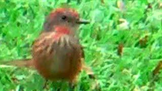 ③ Vermilion flycatcher Pyrocephalus rubinus Mosquero sangretoro Rubintyrann