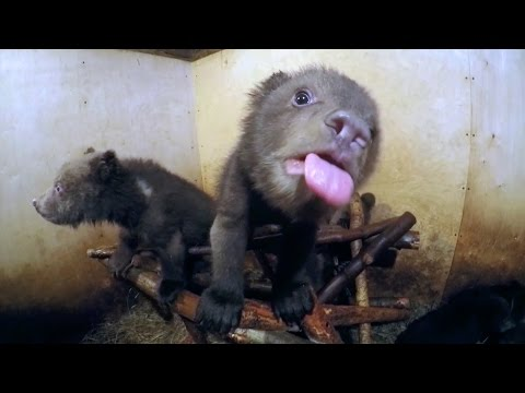 Watch baby bears bottle-feed and play - GoPro