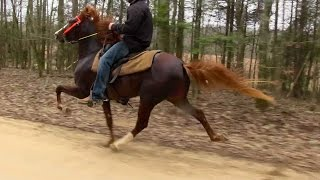 Repeat youtube video Talented Speed Racking Stallion 2 Yr Old - Jacob Parks Horsemanship