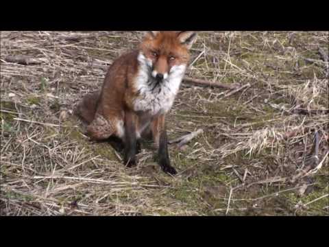 A Jack Russell Terrier meets a Fox