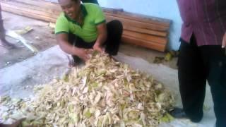 Cara membuat gedebog pisang menjadi pakan sapi dan kambing dengan fermentasi HCS 2
