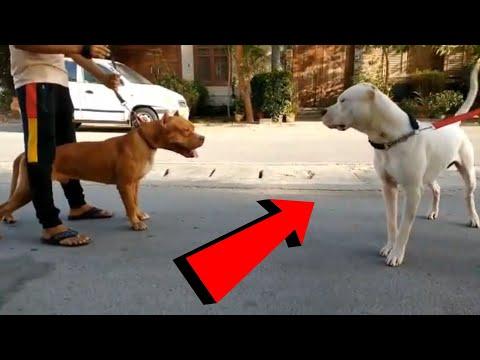 Gran enfrentamiento entre Dogo argentino y Bull terrier VS  Pitbull y Presa Canario