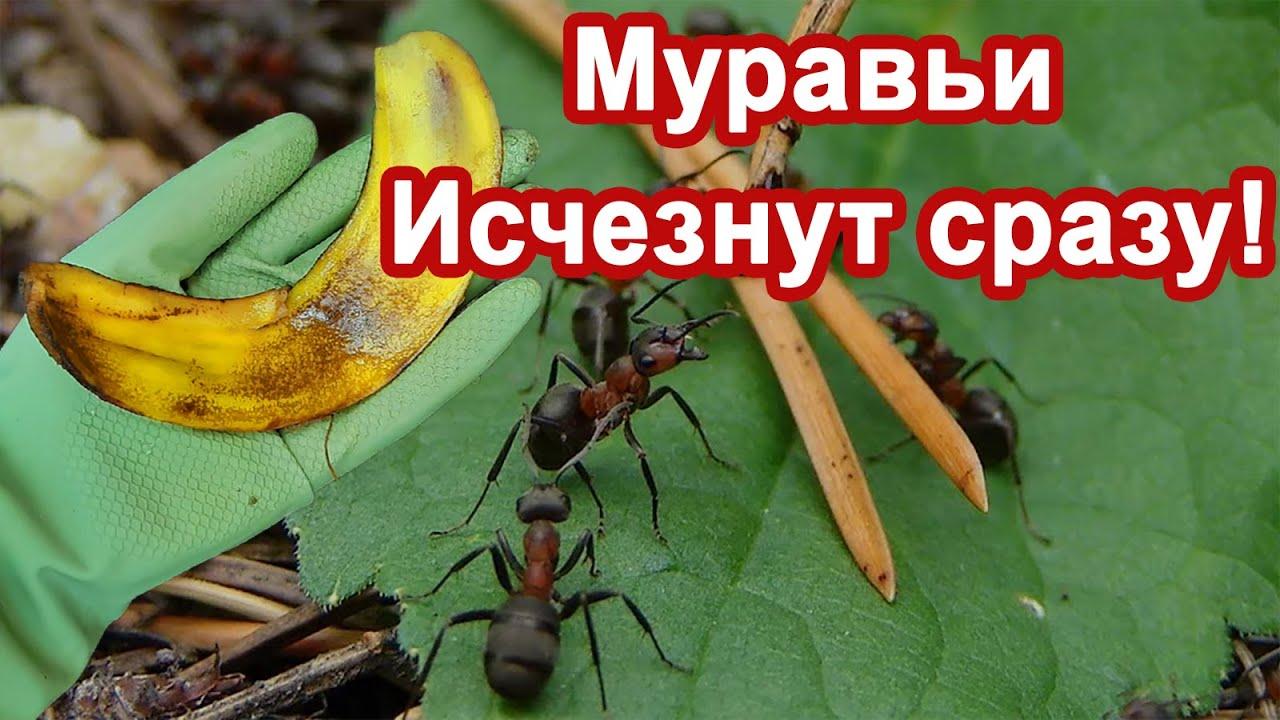 Муравьи Исчезли сразу. Средство за Копейки. Избавляются от муравьев и тли. Делюсь рецептом.