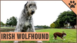 Irish Wolfhound Dog Breed  The Tallest AKC Dog Breed