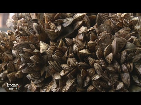 Lake Travis 'infested' With Invasive, Damaging Zebra Mussels