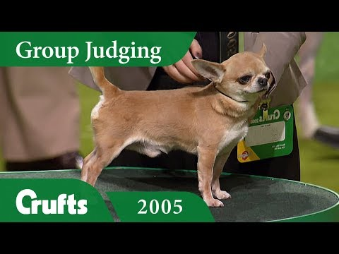 Smooth Coat Chihuahua wins Toy Group Judging at Crufts 2005