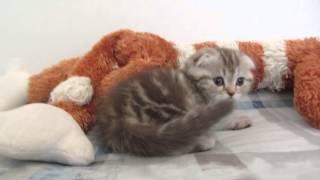 шотландские котята. Шоколадная мраморная серебристая кошечка и кремовый котик.