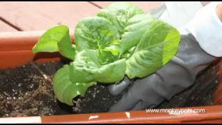 Growing Lettuce in Containers by MonkeyPots