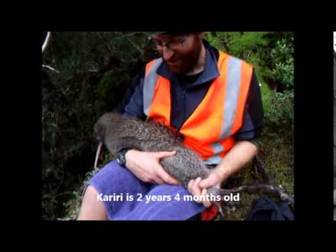 A day in the life of a Arthur's Pass Kiwi Handler