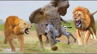 Too Brave! Powerful Hero Elephant Come To Rescue Poor Zebra Escape from Lions