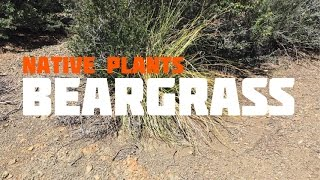 Medicinal, Edible and Useful Plants of the Southwest: Bear Grass (Part 6)