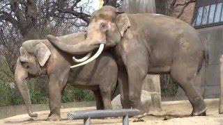 Zärtliche Rüsselei zwischen Victor und Drumbo Berliner Zoo am 27 03