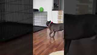 Dog is trying to figure out how to get his balloon off of his crate!