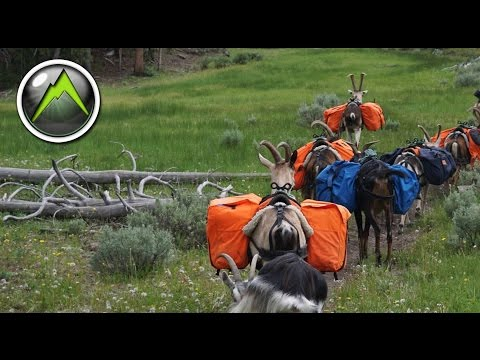 Hunting With Pack Goats