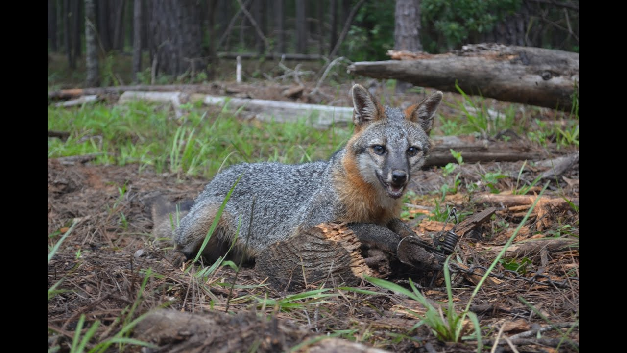 how to set a snare trap for fox