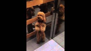 Magical Chinese Dancing Poodle