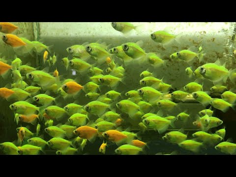 Thousands Of Colorful Fish At A Professional Fish Farm