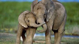Как слоны защищают своих детенышей!
