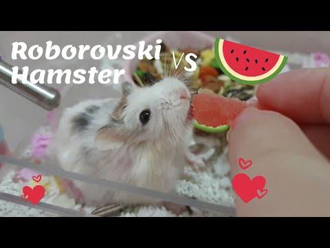 Hamster Roborovski Vs Watermelon - Hamster's Island