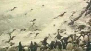 Золотохохлые пингвины
