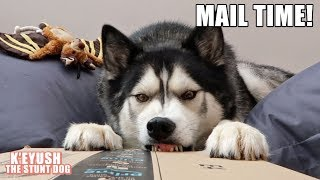 husky-receives-new-favourite-ball-mail-time