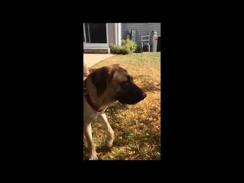 Meet Winnie a Retriever Labrador currently available for adoption at Petango.com! 10/13/2017 2:10:1