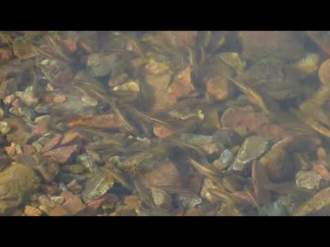 00082 Red Hills Roach swimming