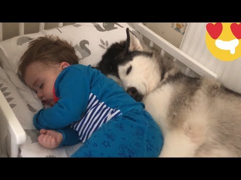 Baby Screams With Laughter Touching Huskies Ears Till He Falls Asleep! [TRY NOT TO SMILE!]