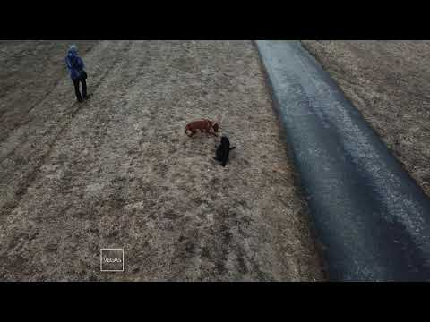 Dogs/DJI Mavic Pro/Rhodesian ridgeback/Flat coated retriever/Run and bite games