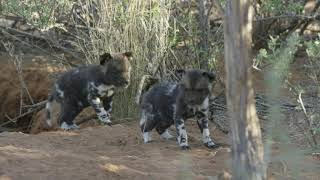 African wild dog puppies - Tswalu Nature Reserve