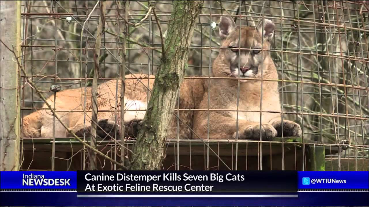 deadly canine distemper hits exotic feline rescue center youtube