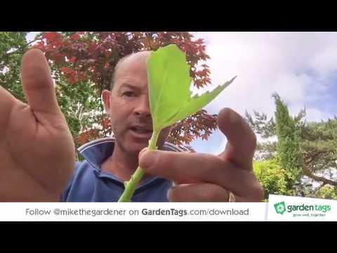 Taking cuttings and propagating Sedum Spectabile - Ice Plant