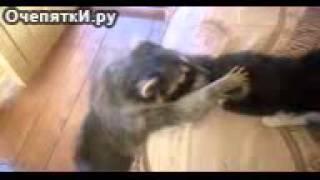 Енот лезет коту