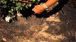 How to Transplant a Gardenia Bush : Garden Savvy