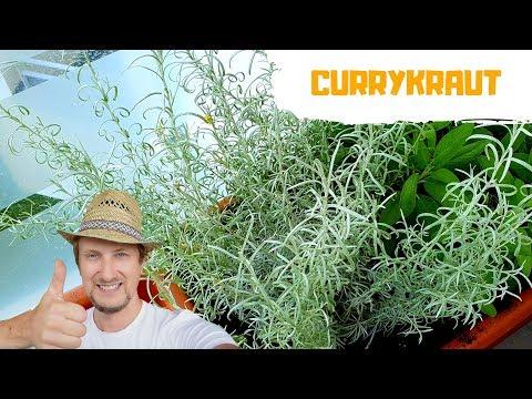 Currykraut Im Garten Oder Auf Dem Balkon 🌞 Mein Kräuter Tipp