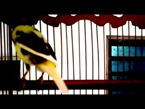 Download Lagu Kicau Kenari Juara - Gacor Panjang