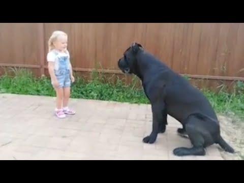 С Кане-Корсо может справиться даже ребенок? О породе собак Кане Корсо