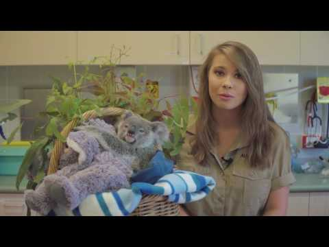 Bindi Irwin and koala Shayne's Trauma Season message from the Australia Zoo Wildlife Hospital