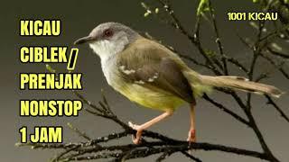 Download lagu KICAU CIBLEK / PRENJAK NONSTOP 1 JAM