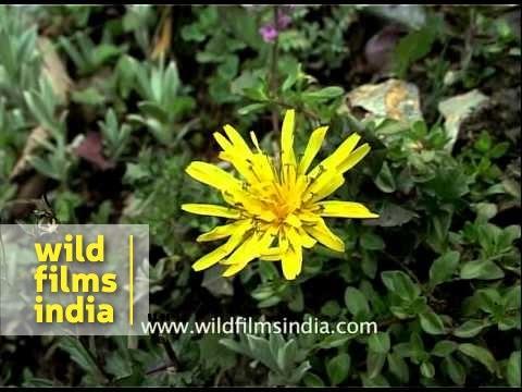 Dandelion Wild Flower In The Valley Of Kashmir Youtube