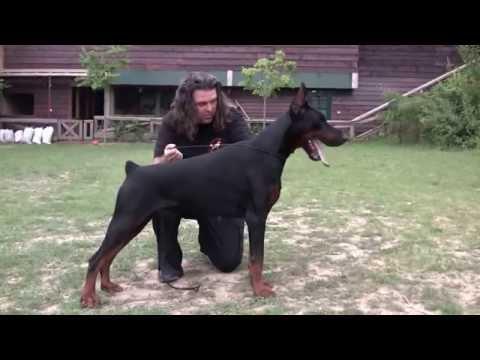 TNT DI ALTOBELLO- One fantastic Altobello Doberman, one amazing connection between child and a dog..