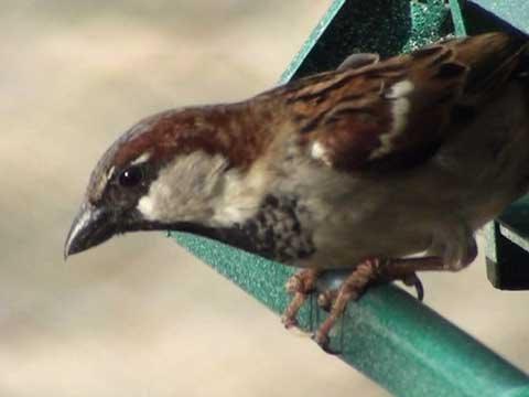 House Sparrow - HD Mini-Documentary