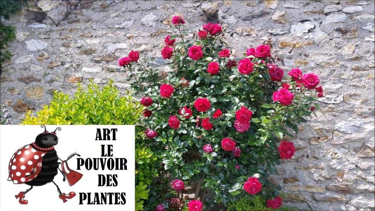 Couper Les Rosiers En Octobre conseils jardinage: comment réussir sa bouture de rosier: plante vivace