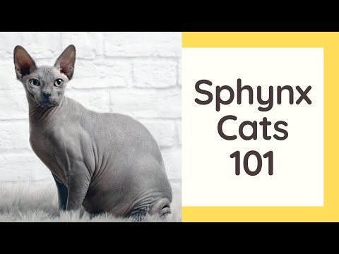 Sphynx Cats 101  Cat Breed And Personality