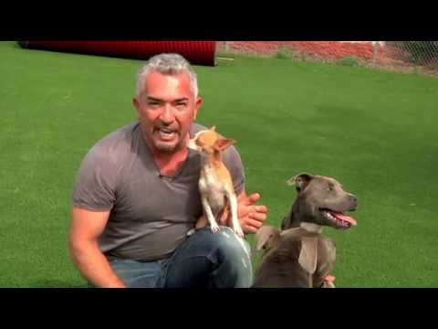 The Dog Whisperer Explains: Little Dogs Playing with Big Dogs