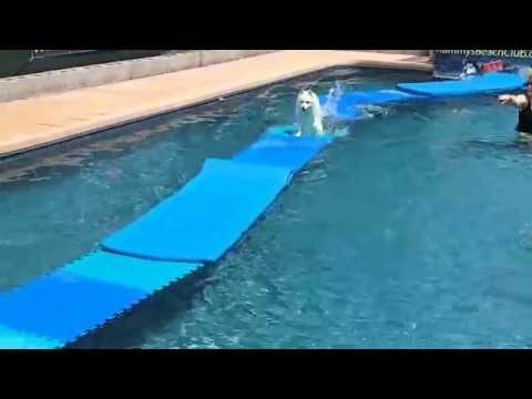 Miniature Eskimo Dog Nicky dock Jumps onto swimming pool floats for dog toy & walks on water