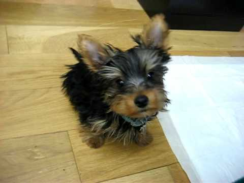 Bono My Yorkie Doing Tricks Youtube