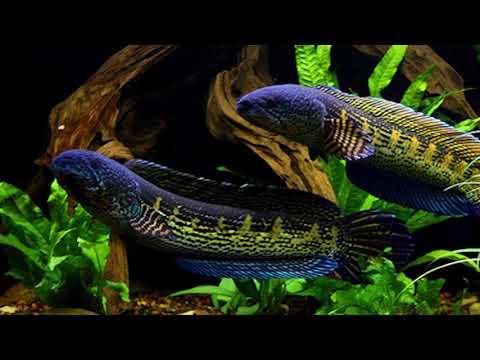 Ikan Termewah 5 Jenis Ikan Hias Channa Sneakhead Terpopuler Dan Termahal Didunia Youtube